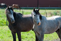 Two Young Horses Stock Photos - 24971073