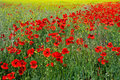 Poppies Field Stock Images - 24979734
