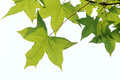 Maple Leaves Stock Photo - 24988050