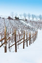 Tuscany: Wineyard In Winter Royalty Free Stock Photography - 24988337