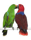 Male And Female Eclectus Parrots Royalty Free Stock Photography - 24991477