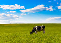 Cow Grazes Royalty Free Stock Images - 24997609