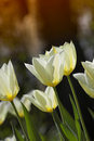 Tulips In Springtime Royalty Free Stock Photos - 2500458