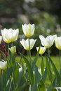White Spring Tulip Stock Photography - 2500762
