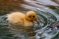 Baby Duck Swimming Stock Image - 25015981