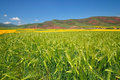 Barley Field Stock Photo - 25020360