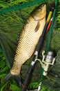 The White Amur - Grass Carp. Royalty Free Stock Photos - 25038908