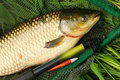 The White Amur - Grass Carp. Royalty Free Stock Photography - 25038937