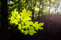 Maple Leaves In Spring Royalty Free Stock Photos - 25045808