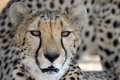 Cheetah Portrait Royalty Free Stock Image - 25049216