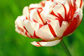 Beautiful Double Tulip Close Up Royalty Free Stock Photography - 25057717