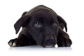 Sad Eyes Of A Black Little Stray Puppy Dog Stock Images - 25090754