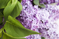 Lilac Stock Photography - 25092132