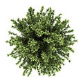 Top View Of Red-barked Dogwood Bush Isolated Royalty Free Stock Images - 25097689