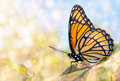 Dreamy Image Of A Viceroy Butterfly Stock Image - 25106401