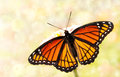 Dreamy Image Of A Viceroy Butterfly Stock Image - 25106461
