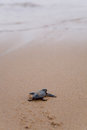 Newly Hatched Baby Loggerhead  Turtle Stock Images - 25106574