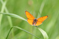 Large Copper Orange Butterfly Royalty Free Stock Photos - 25115838