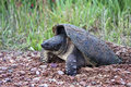 Snapping Turtle Laying Eggs Royalty Free Stock Photos - 25118808