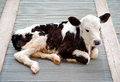 The Young Calf Royalty Free Stock Photography - 25129857