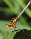 Damselfly. Close-up Stock Image - 25131531