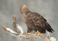 White-tailed Eagle Stock Images - 25137584