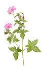 Geranium Stock Photos - 25142183