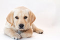 Yellow Lab Puppy Royalty Free Stock Images - 25146949