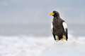 Steller S Sea Eagle Royalty Free Stock Photography - 25158887
