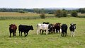 Cattle In A Green Field Stock Images - 25181154