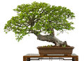 Very Old Chinese Elm As Bonsai Tree Royalty Free Stock Images - 25197249