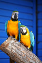 Macaws Royalty Free Stock Photo - 2522755