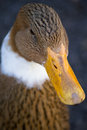 Brown Duck Royalty Free Stock Photo - 25205345
