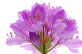 Rhododendrons Stock Images - 25210614