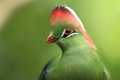 White-cheeked Turaco Royalty Free Stock Photos - 25212538