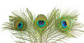 Peacock Feather Royalty Free Stock Images - 25214259