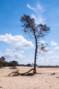 Lonely Pine Tree In The Sand Royalty Free Stock Photo - 25222095