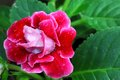Red Gloxinia Flower In Its Leaf Background Stock Photos - 25223043