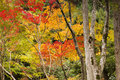 Japanese Maples In Autumn Colour Stock Images - 25228854