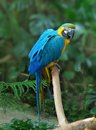 Blue And Gold Macaw (Ara Ararauna) Royalty Free Stock Images - 25244709