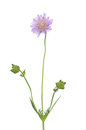 Small Scabious (Scabiosa Columbaria) Stock Images - 25257254