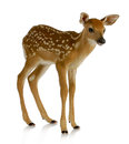 Fawn Royalty Free Stock Images - 25259989