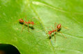 Red Ants Stock Photos - 25260153