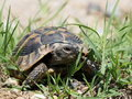 Turtle In Grass, Testudo Hermanni Royalty Free Stock Photography - 25271327