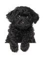 Black Poodle Puppy Stock Photo - 25278120