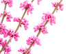 Chinese Redbud In Left Side Royalty Free Stock Photography - 25287037