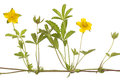 Buttercup Stock Image - 25289261
