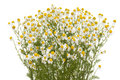 Camomile Royalty Free Stock Photography - 25289457