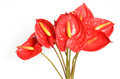 Red Anthurium Flowers Stock Photo - 25297200