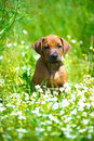 Rhodesian Ridgeback Puppy In A Field Stock Photos - 25299253
